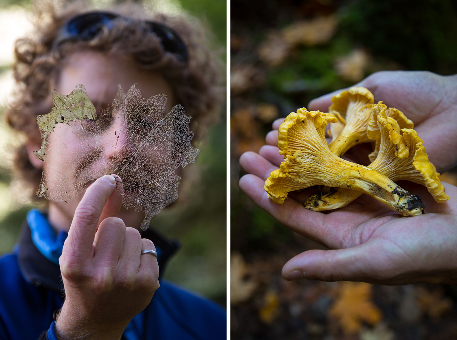 picking chanterelle mushrooms